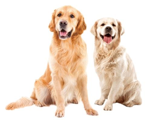 大型犬 ゴールデンレトリーバー